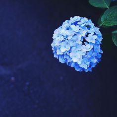 * * *  毎日、「すき」は増えていくけど 『昔からすき』 は 変わらないんだね。  やっぱり すきでした  #flower  #nature  #rain  #梅雨  #紫陽花  #花  #青  #蒼  #雨