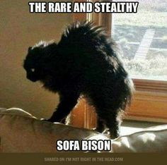 The rare and stealthy sofa bison.