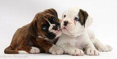 boxer pups - Google zoeken