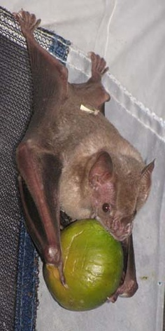 fruit Bat..I love bats!!! i even have a bat house for them .