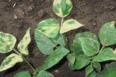 Herbicide Injury: Assure II (quizalofop-p-ethyl) Herbicide Injury on Beans