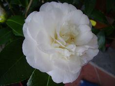 Camellia japonica 'Casselii' (Belgium, 1838)