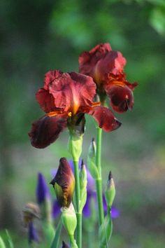 Iris I'd love to have in my garden