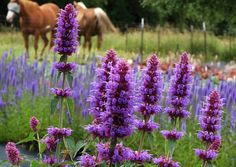 "Agastache 'Blue Boa'; full sun, zones 6-9, upright, 24"" h x 16"" w; bloom ht 32""; blooms Jun, Jul, Aug, Sep; Soil: Best in well drained, fertile soil. Needs excellent drainage to overwinter. (www.terranovanurseries.com)"