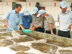 Mạng Thủy Sản Việt Nam - Blog View - Kiến nghị xử lý đơn vị tung tin nhập lậu tôm giống