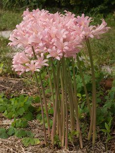 Surprise Lilies a big bunch