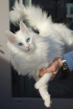 The Angora is among the oldest-known breeds and contributed to the growth of the Persian. The Turkish Angora is normally a medium sized cat. Turkish Angora Cat, Angora Cats, Pretty Cats, Beautiful Cats, Crazy Cat Lady, Crazy Cats, Norwegian Forest Cat, White Cats, Black Cats