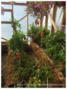 Straw Bale Garden Setup In A Greenhouse... | http://www.strawbalegardeningbook.com/inspiration/grow-anywhere/