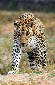 Cheetahs are in danger of poaching all over the world.