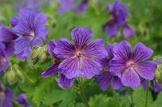 Cranesbill, Çiçek, Pul, Bitki, Menekşe, Mor