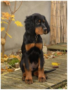 Pets 3, Pet Dogs, Dogs And Puppies, Red And White Setter, Puppy Breath, English Setters, Gordon Setter, Dog List, Purebred Dogs