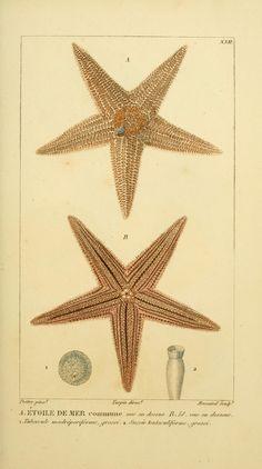 Manuel d'actinologie ou de zoophytologie /.  Paris ;F.G. Levrault,1834-[1836].  Biodiversitylibrary. Biodivlibrary. BHL. Biodiversity Heritage Library.