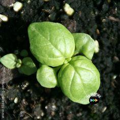 Truco para tener albahaca fresca siempre en casa Fresco, Garden Plants, Home, Fresh