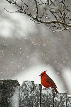 Lovely... (Cardinalidae: Cardinalis cardinalis)