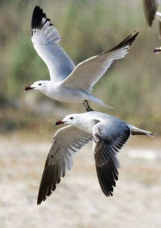 Audouin's gull (Larus audouinii). By Constantine Alexander. Beautiful Birds, Animals Beautiful, Seagulls Flying, Bird Flying, Cottages By The Sea, Shorebirds, Am Meer, Sea Birds, Beach Art