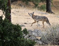 https://flic.kr/p/igH6D3 | Coyote young male looking up Chesbro