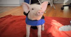 Piglet Saved from farming truck Loves belly rubs now! For animal people. Pass it on.