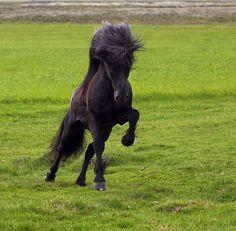 Icelandic Horse by Ragnar Sigurdsson on Flickr