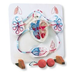 Functional Heart & Circulatory System-This product has been discontinued by the manufacturer. This amazing working model of the human heart and circulatory system will bring your lecture to life! A complete schematic model of the human circulatory sy Science Biology, Science Education, Life Science, Health Education, Physical Education, Science Cartoons, Character Education, Human Body Organs, Human Body Systems