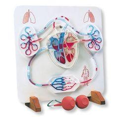 Functional Heart & Circulatory System