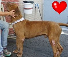 SAFE 8-6-2015 by  Pound Hounds Res-Q --- RETURNED 07/31/15 LLORDPRIVA --- RTO SAFE 09/10/14 --- Manhattan Center TRIGGER aka TYLER - A1013443 MALE, RED, DOGUE DE BORDX MIX, 7 yrs OWNER SUR - EVALUATE, NO HOLD Reason PERS PROB Intake condition EXAM REQ Intake Date 09/08/2014, http://nycdogs.urgentpodr.org/tigga-aka-trigger-aka-tyler-a1013443/