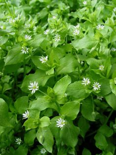 Stellaria media, Caryophyllaceae