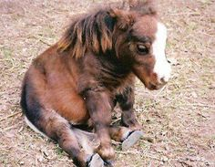 Thumbelina, world's smallest horse.weighing only 60 pounds and 17 inches high