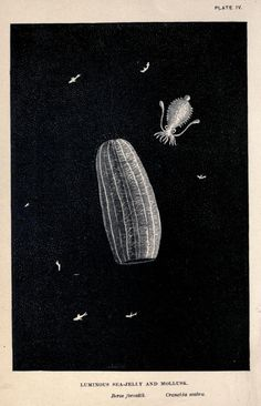 Living lights : a popular account of phosphorescent animals and vegetables (1887)