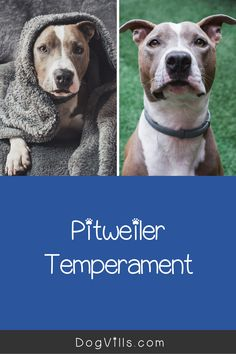 Thinking about adopting a pit bull mixed with a rottweiler, but not sure if it's the right combination for you? Below, we'll discuss everything you need to know about the pitweiler!