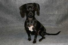 Hannah is an #adoptable Dachshund mix #puppy at  Clayton County Humane Society www.claytoncountyhumane.org  7810 N. McDonough St #Jonesboro, #GEORGIA. 30236 Ph 770-471-9436