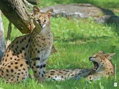 Mikasa China, Exotic Cats, Serval, Panther, Animals, Animales, Animaux, Panthers, Animal