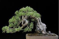 Ponderosa pine -Colin Lewis