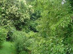 Image result for forest shrubs