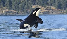 www.pegasebuzz.com | Orca, orque, killer whale, black fish. The beautiful J41 Eclipse, by Jeff Hogan.
