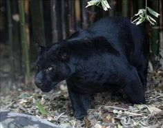 Black Jaguar in the Forest
