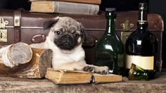 mops dog picture