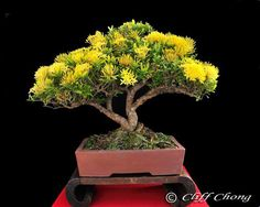 Bonsai with yellow flowers