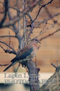 Dove by Lapin Lune photography. lapinlunephotography.blogspot.com