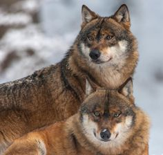 Wolves by Rudolf Baier