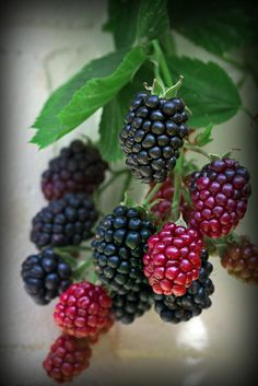 Berries - sweet and tart Fruit And Veg, Fruits And Vegetables, Fresh Fruit, Exotic Fruit, Tropical Fruits, Photo Fruit, Fruit Photography, Beautiful Fruits, Weird Food