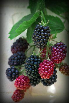 Berries - Jezyny, by rafal kochanowski, via Flickr