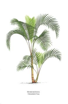 paintings of palm trees | Palm tree print by Pannemaeker of Champagne Palm