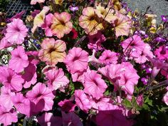 Dusty Rose & Bubblegum petunias