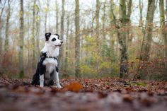 Wapi loves fall run #bordercollie #yummypets
