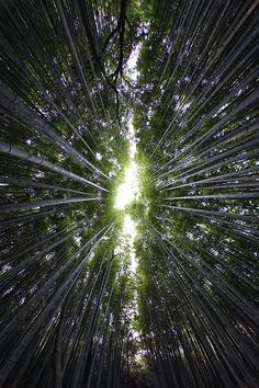 Sagano bamboo grove, Kyoto