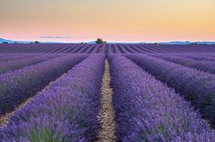Rows of purple lavender in height of bloom in early July in a field on the Plateau de Valensole at sunset, near Valensole, Alpes-de-Haute-Provence, Provence-Alpes-Cote dAzur, France