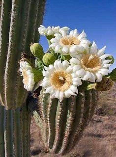 Saguaro cactus flowers, state flower of Arizona.