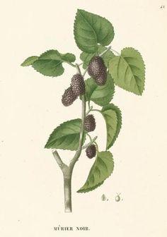 Black Mulberry -Morus nigra