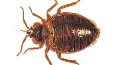 Cities are literally itching for help controlling the bed bug problem; a solution to the scourge could be on its way in 2015
