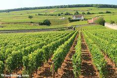 Photo of vineyard in Côtes de Nuits, Burgundy, France.